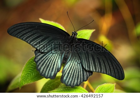 Dark exotic butterfly. Butterfly in the forest. Butterfly sitting on the leaves. Beautiful black butterfly, Great Mormon, resting on the green branch, insect in the nature habitat, India   - stock photo