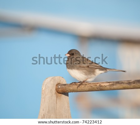 Dark-eyed Junco against a bright blue barn on a sunny winter day - stock photo