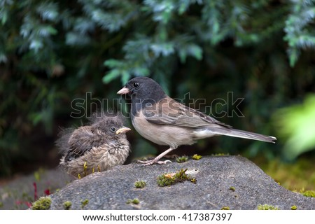 Dark-eyed Junco bird mother and baby chick perched on rock in garden backyard in Oregon - stock photo