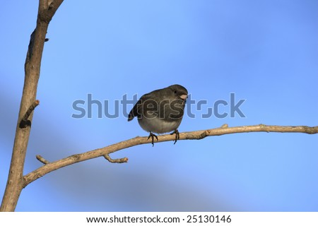 Dark-eyed Junco (Junco hyemalis hyemalis), Slate-colored subspecies, male on open branch - stock photo