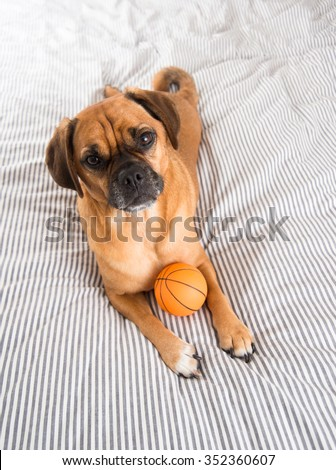 Dark Fawn Puggle Dog Laying on Owners Bed with Rubber Basketball - stock photo