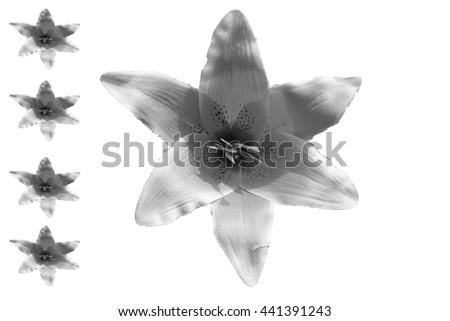 Dark flowers with white baclground - stock photo
