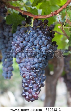 Dark grapes hanging on a vine in Spanish Andalusia. - stock photo