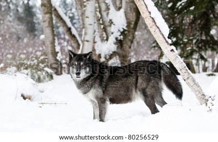 Dark grey wolf in winter trees - stock photo