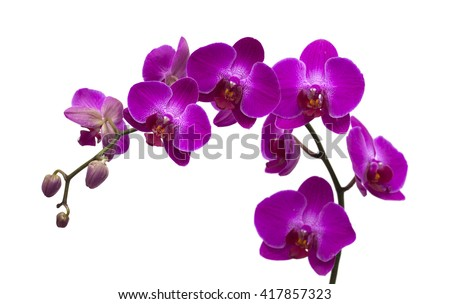 dark magenta phalenopsis, moth orchid;  isolated on white - stock photo