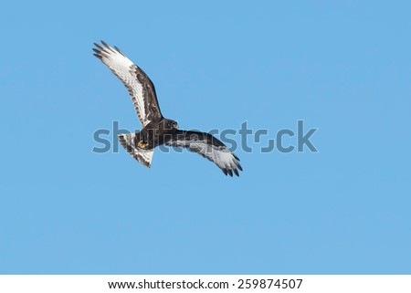 Dark morph Rough-legged Hawk flying high up in the bright blue sky. - stock photo