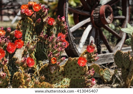 Dark orange flower of profuse low-growing cactus plant in Spring sunshine/Low-Growing Spiny Desert Plant Blooming with Orange Springtime Color in Sunlight/Orange bloom on low cactus Spring vegetation  - stock photo