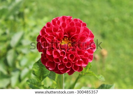 """Dark pink """"Dahlia"""" flower in Innsbruck, Austria. Dahlias are native to Mexico and declared the national flower of Mexico in 1963. (See my other flowers) - stock photo"""