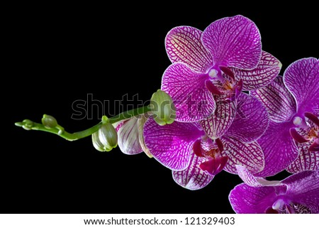 dark pink orchid flowers isolated on black background - stock photo