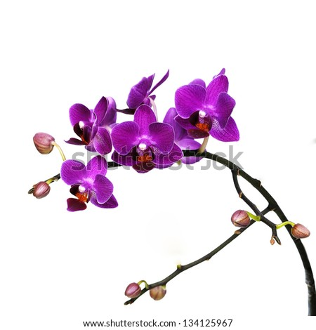 dark pink orchid flowers isolated on white background - stock photo