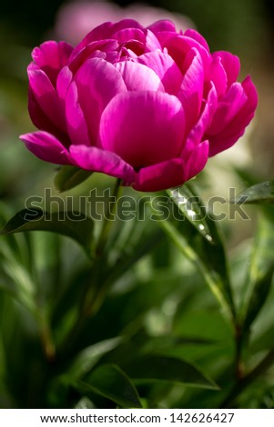 Dark pink peony flower opening its petals in the sunlight - stock photo