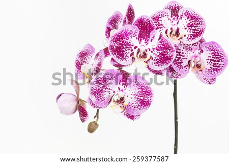 Dark purple and white Moth Orchids and bud close up over white background - stock photo