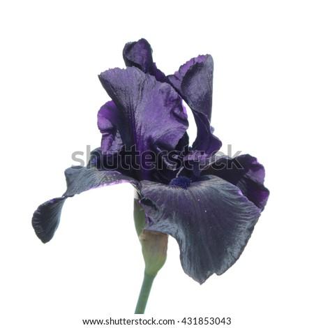 Dark purple iris isolated on white background. Iris flower - stock photo