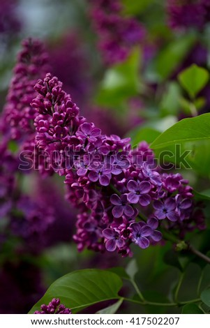 Dark purple  lilac flower. with blurred  background. Lilac blooming in spring, floral natural background - stock photo