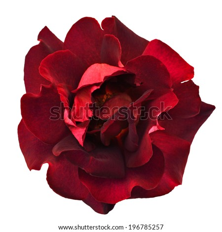 dark red rose isolated on white background - stock photo