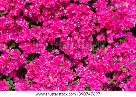 Dark ripe pink bougainvilleas with small white flowers background - stock photo