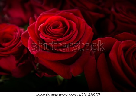 dark rose, flower rose deep red color, a beautiful backdrop, - stock photo