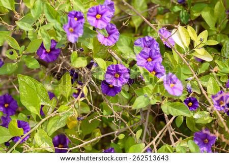 Dark violet flowers on leaves background - stock photo