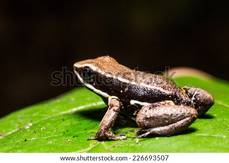 Dart frog of the amazon forest, Iquitos, peru - stock photo