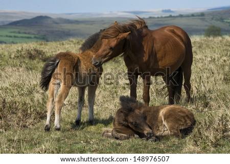 Dartmoor ponies groom each others. - stock photo