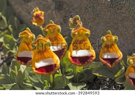 Darwin's Slippers on Alpine Tundra in the Patagonian Andes of Argentina - stock photo
