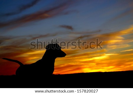 Daschund dog (Teckel) looking at sunset - stock photo