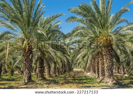 Date Palms - stock photo