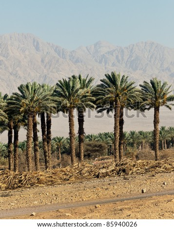 Date palms in the valley of the jordan - Israel - stock photo