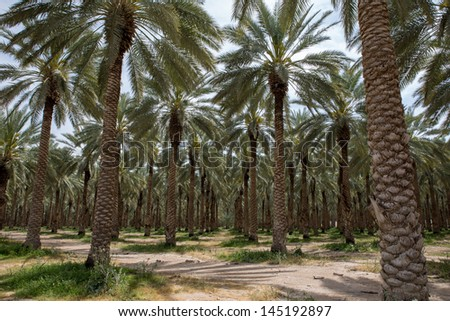 Dates palm plantation in Southern Israel - stock photo