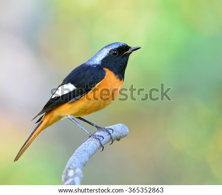Daurian Redstart (Phoenicurus auroreus) the beuatiful bird with black face and wings silver head and orange belly perching on the branch with nice blur background - stock photo