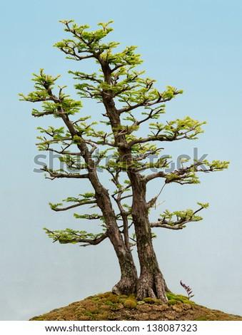Dawn Redwood (Metasequoia glyptostroboides) bonsai tree - stock photo