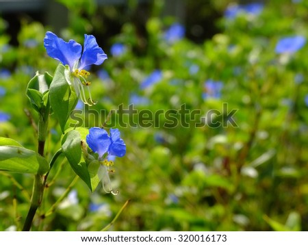 dayflowers in the sunshine - stock photo