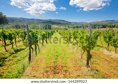 Daylight shot of green vine lines in a vineyard  - stock photo