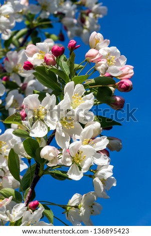 Dazzling white flower blossoms with pink unopened bud adorn a crab apple tree branch in spring. - stock photo