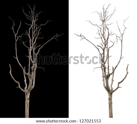 Dead and dry tree is isolated on black and white background - stock photo