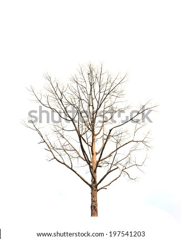 Dead and dry tree is isolated on white background - stock photo