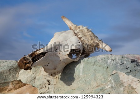 Dead animals in the mongolia steppe - stock photo