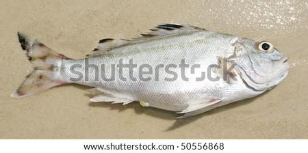 dead beautiful fish - stock photo