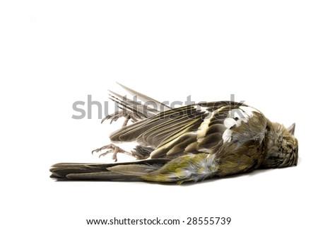 dead bird on white - stock photo