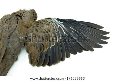 dead bird on white background - stock photo