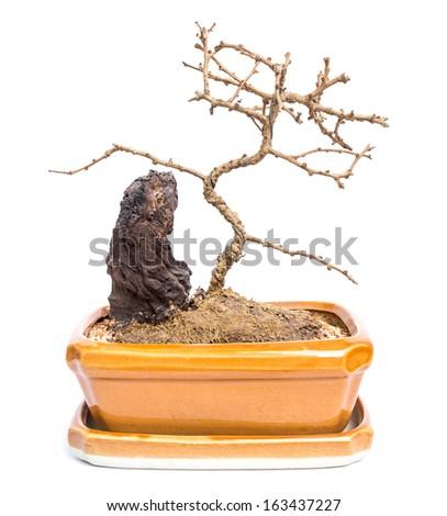 Dead Trees For Sale Dead Bonsai Trees in Pots on