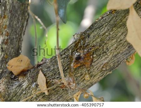 dead bug in gum tree - stock photo