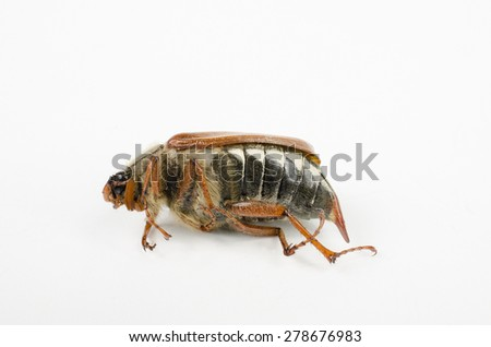 dead cockchafer isolated (macro, head left) - stock photo