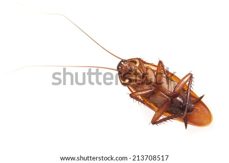 Dead cockroach, a common household pest, lying on its back viewed from above isolated on a white background with copyspace - stock photo