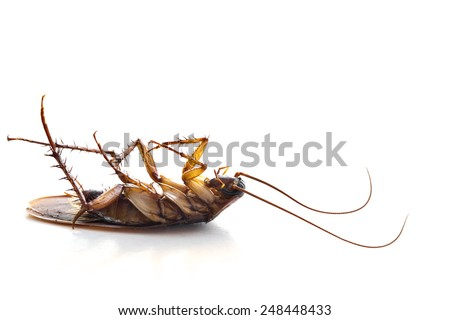 Dead common cockroach upside down on a white background - stock photo