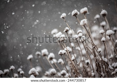 Dead coneflower plants covered in snow in a winter snowstorm - stock photo