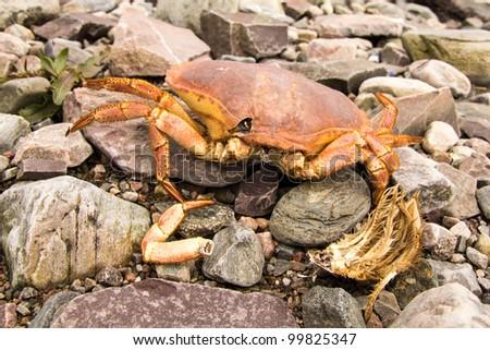 Dead crab on stone beach - stock photo