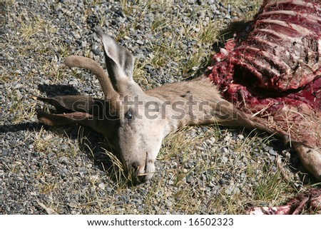 Dead deer that has been partially eaten - stock photo