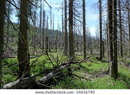dead dry forest ecology problem (bark beetle  calamity) - stock photo