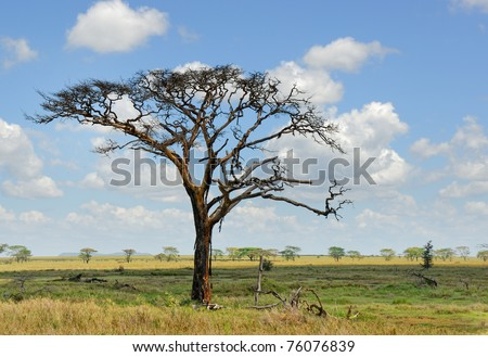 Dead dry tree in the african savannah, Serengeti, Tanzania - stock photo